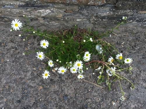 I enjoyed noticing these beautiful daisies poking through paving.